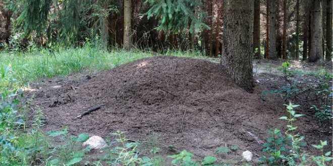 Une colonie unique de fourmis dans un bunker nucléaire en Pologne
