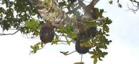 Des fourmis aux Fiji développent leurs propres villes agricoles