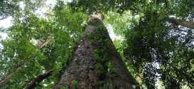 Découverte d'un arbre de 81 mètres sur le Kilimandjaro