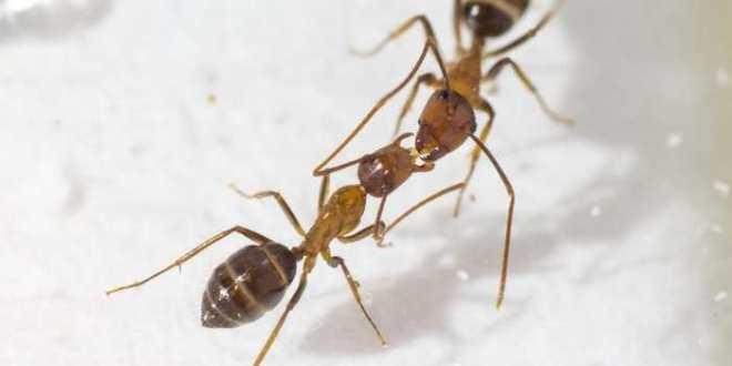 Le «baiser» des fourmis pourrait être une forme cachée de communication