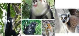 Des doutes sur la survie de plusieurs espèces de primates