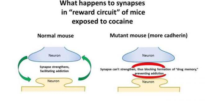 Des souris qui résistent à l'addiction de la cocaïne