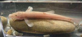 Première découverte d'un poisson aveugle (Cavefish) en Europe