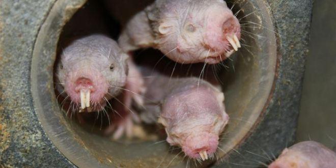 Comment le Rat-taupe nu défie-t-il le manque d'oxygène