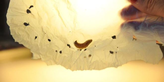 Découverte d'une chenille qui mange du plastique