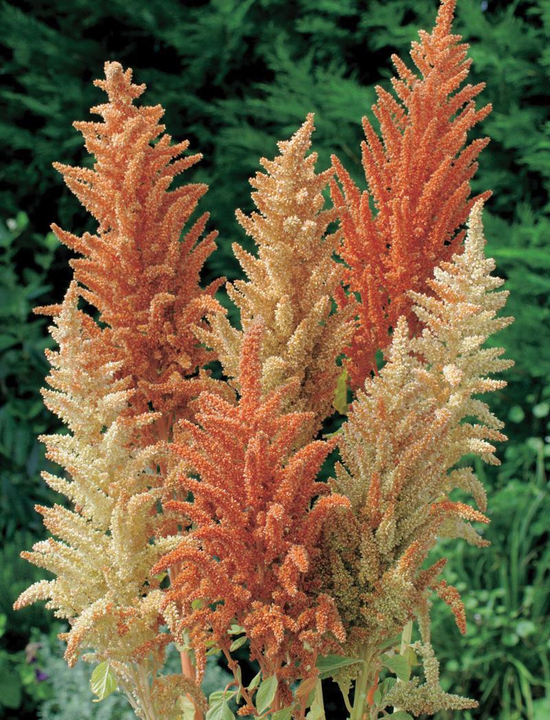 Amaranthus Flower Varieties