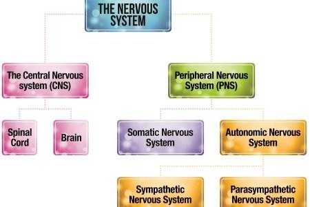 Autonomic nervous system diagram autonomic nervous system autonomic the autonomic and somatic nervous systems divisions of the nervous system structure of the nervous system human nervous system diagram chapter autonomic ccuart Image collections