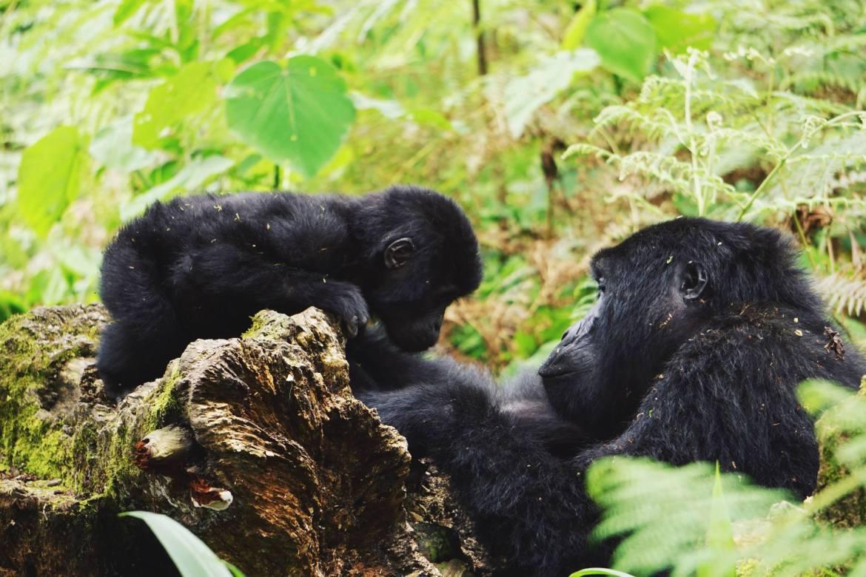 gorilla in oeganda