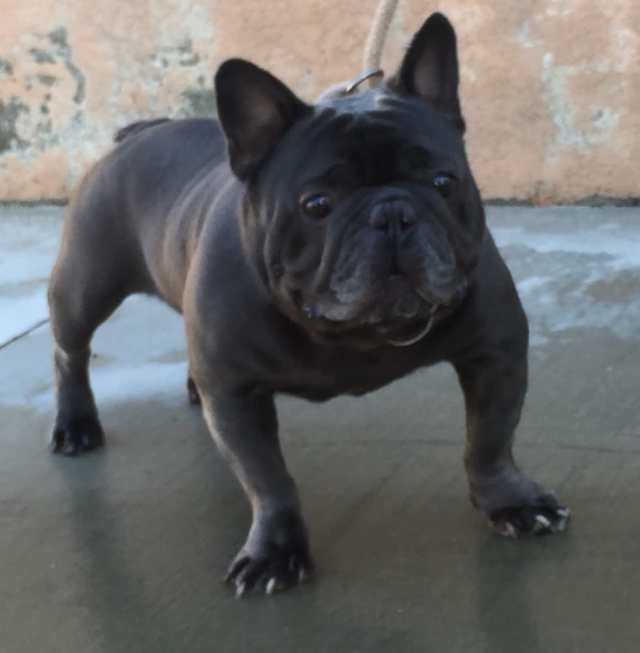 solid blue akc french bulldog stud - yelp