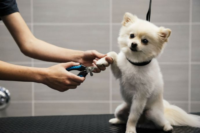 Small white dog getting its nails trimmed at Dogtopia of Frederick Spa.