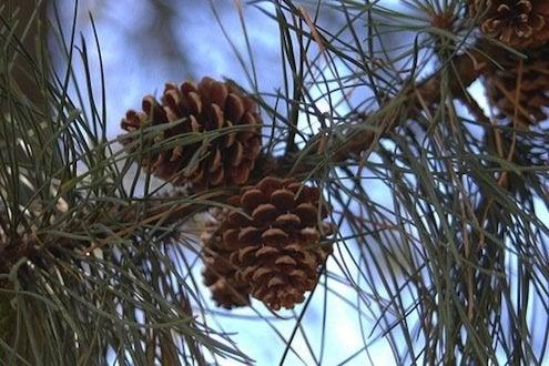 Pine Cone Diy Bob Vila