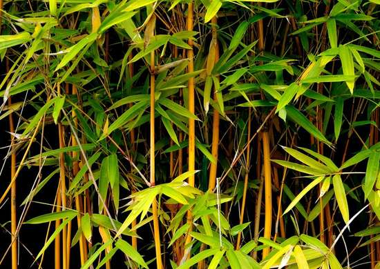 Caring for Bamboo