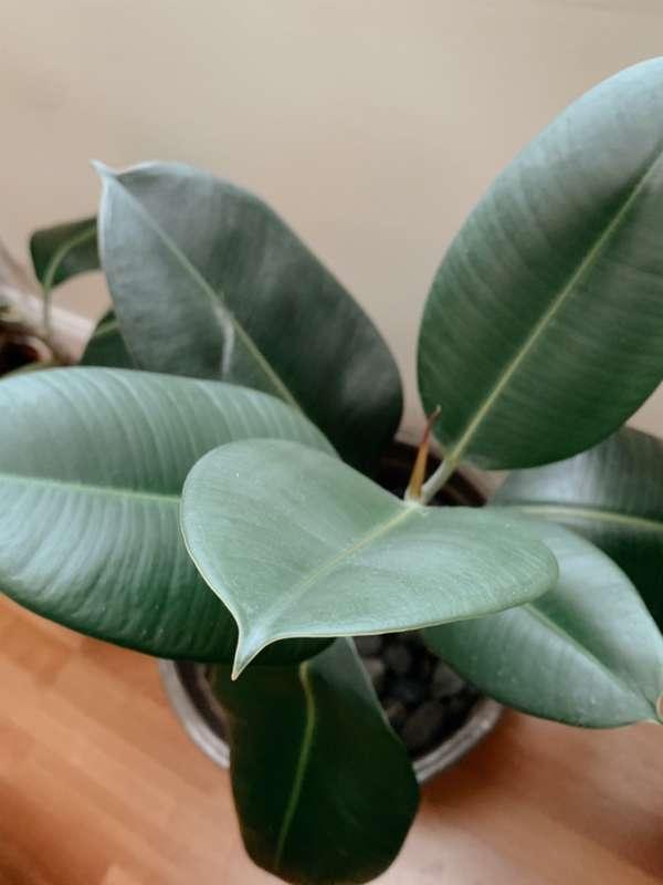 Ficus Elastica, una pianta perfetta per rinfrescare la casa.