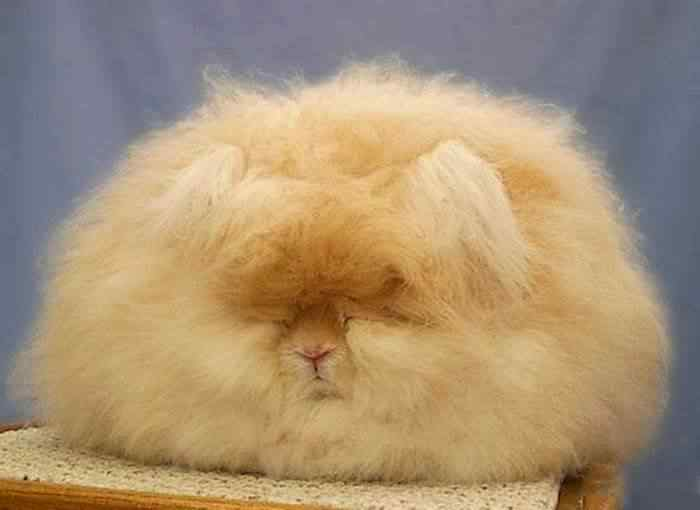 The most fluffy bunny in the world04
