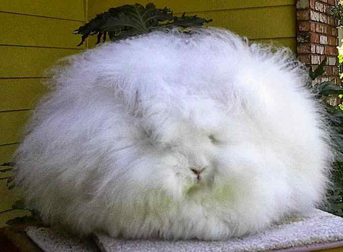 The most fluffy bunny in the world07