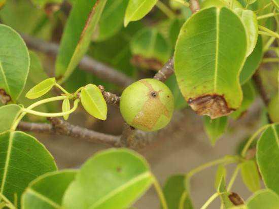 manchineel-tree2-550x412