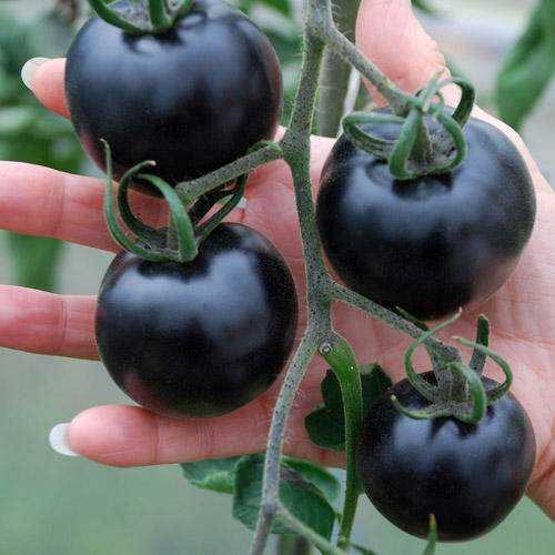 black-tomatoes