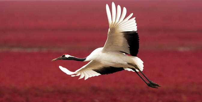 red-beach-and-red-crowned-cranes