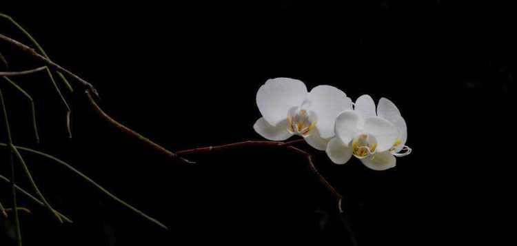 orquideabranca_low