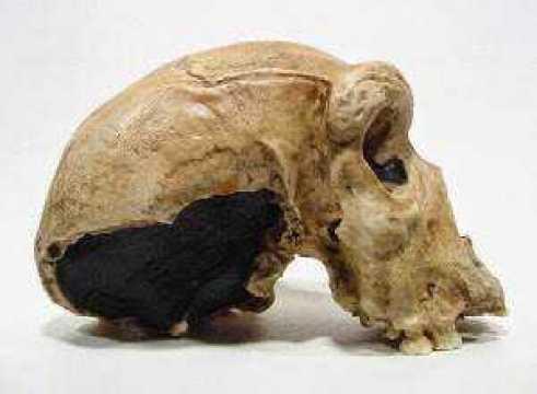 cranio hn2w
