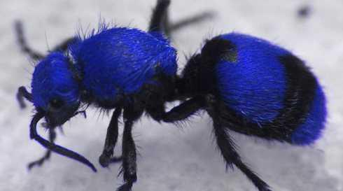 blue-velvet-ant