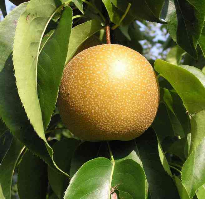 ChujuroPear