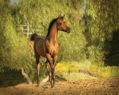 The 2017 filly (PA Gazsi x Simsimiya by Mazkarade), owned by Walt and Jeannette Lane, Esperanza Arabians, Riverside, California.