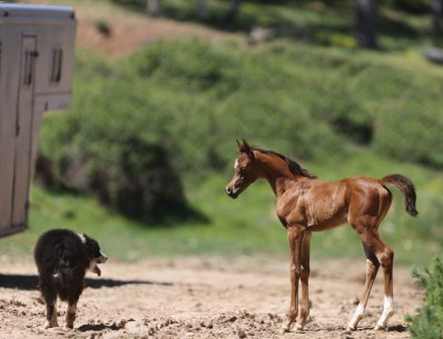 "The 2017 filly SS La Bella (SS Calypsos Nabeg x EF Bella Contessa by QR Excel), bred and owned by Ottoman Arabians, Weed, California. ""She's one of Calypso's first granddaughters and one of our up-and-coming superstars, pictured here with our new herd dog, Sprocket, whom we adopted from the local shelter this winter,"" says Chera Sabankaya of Ottoman Arabians."