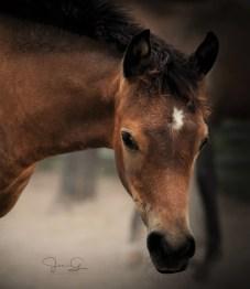 "The 2017 filly Diamond Tsabella (Eliron Haman [El Hadiyyah x Eliron Bint Siria by VA Sirius] x Diamond Tsabrina [De Mohumed Ali x Diamond Tsable]), bred and owned by Angela Jenkins, Diamond Magic Arabians, Gilmer, Texas. ""Bella's the first 2017 foal born at Diamond Magic Arabians, and the first daughter of my homebred mare Diamond Tsabrina. She is also the youngest descendant of my foundation mare, Diamond Tsable, and my first daughter of Eliron Haman, so she is doubly treasured,"" says Angela."