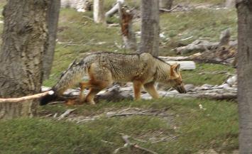 Torres del Paine National Park fox