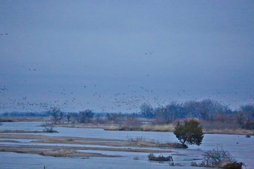 Sandhill cranes on the Platte River landing massing