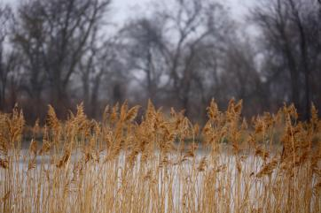 Sandhill cranes on the Platte River reeds