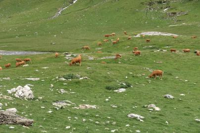 Cirque d'Estaubé cows