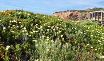 Praia do Amado flowers