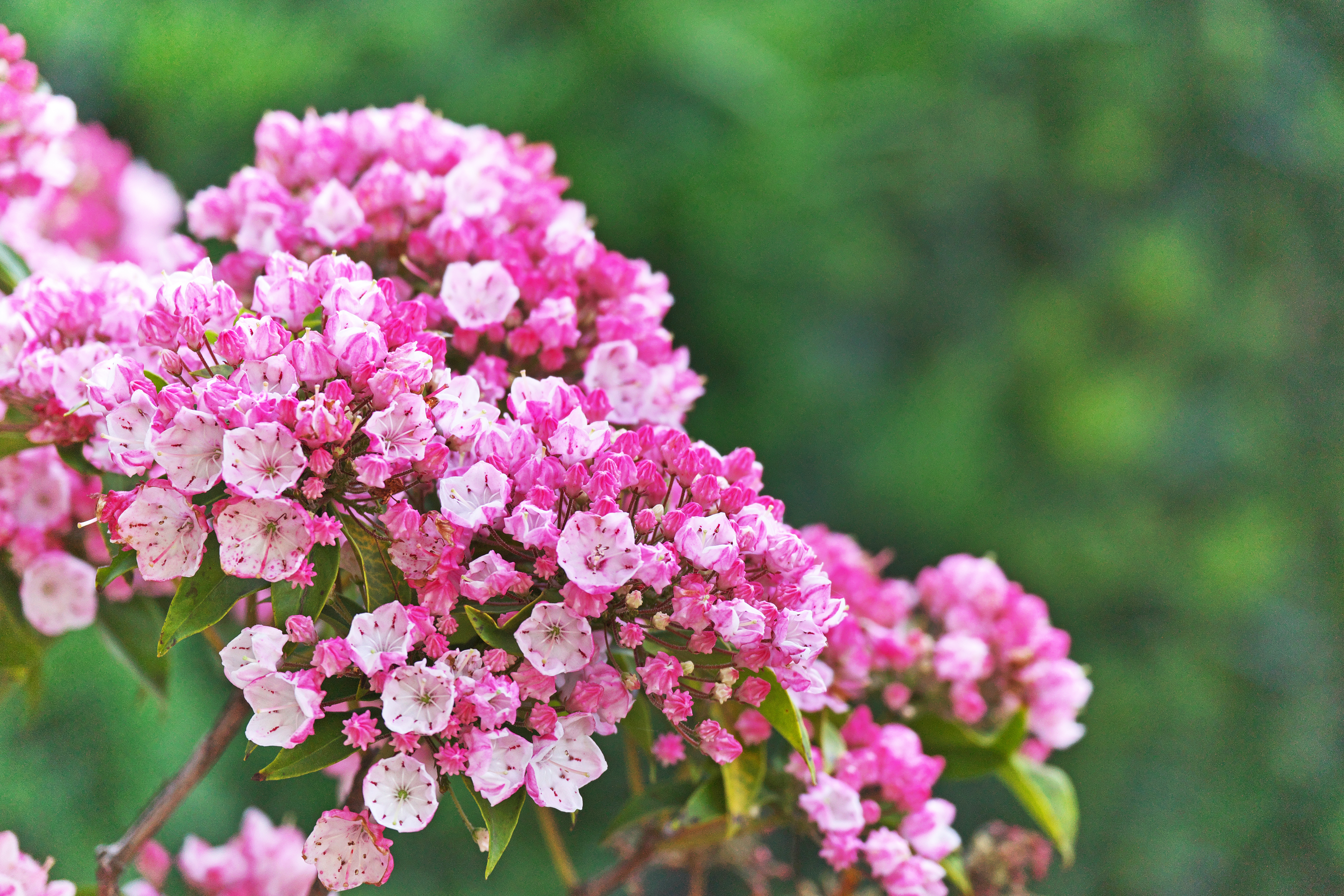 Dangers Of Mountain Laurel Plants Home Guides Sf Gate