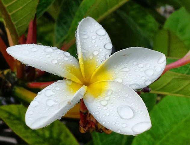 Plumeria Flowers in Hawaii Continue to Enchant   Hawaii com Delicate white plumeria in full bloom  Photo courtesy of CAL