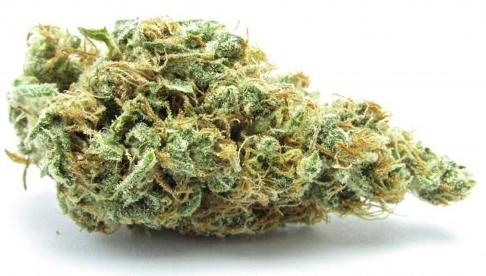 The strain Jilly Bean is a rather balanced hybrid.   Photo: David downs