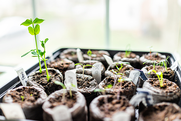 Seedlings on a tray