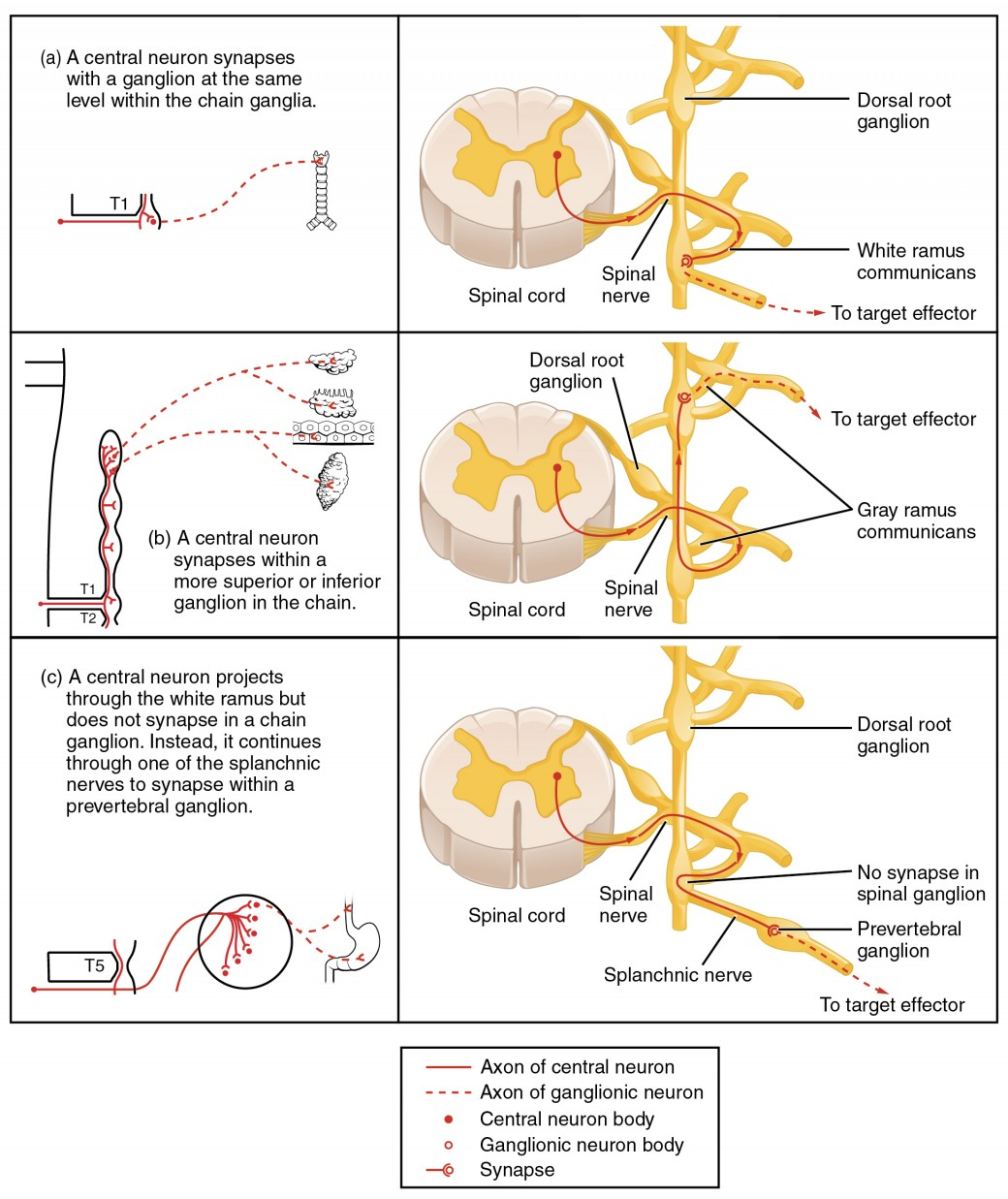 Divisions Of The Autonomic Nervous System