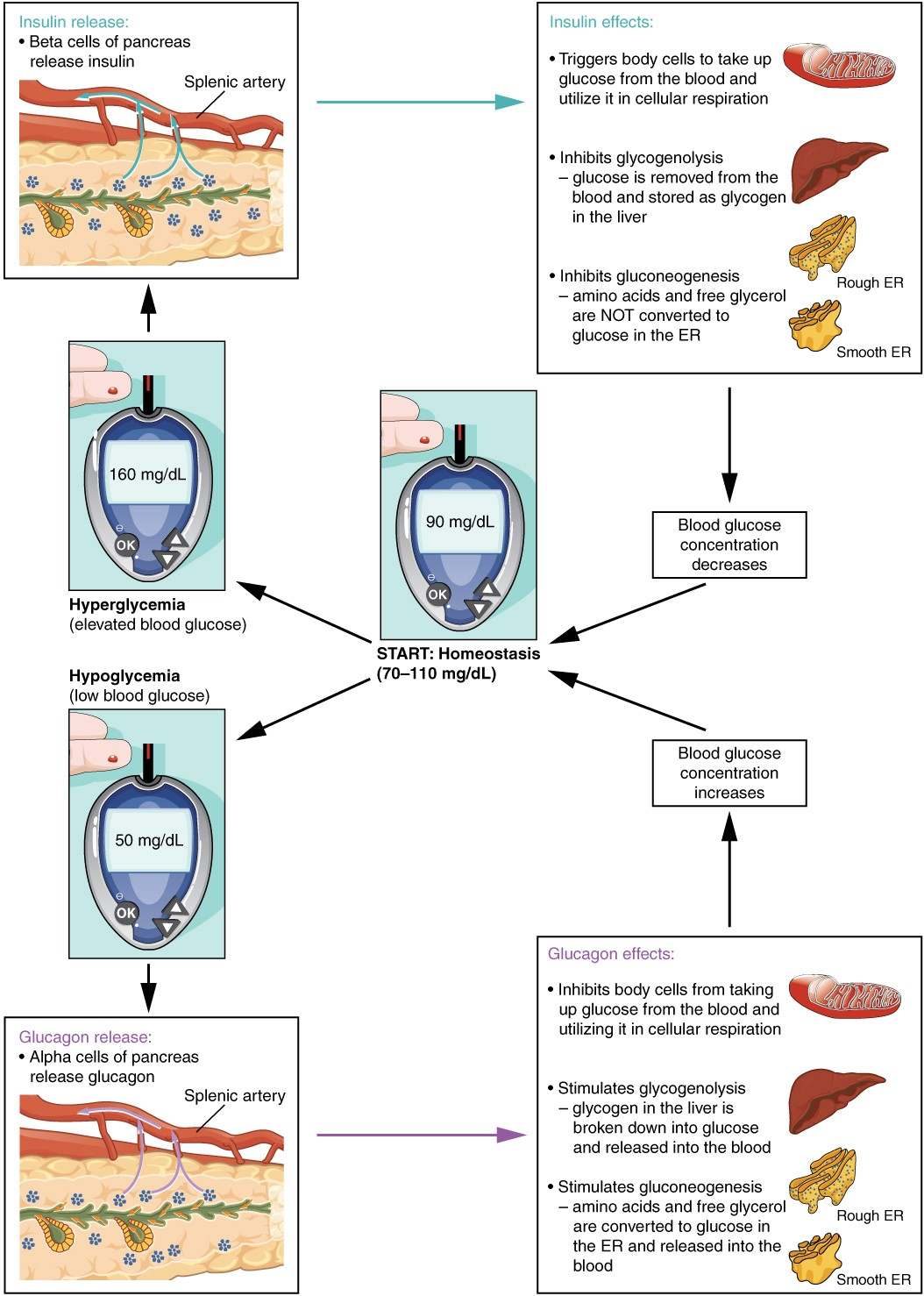 The Endocrine Pancreas
