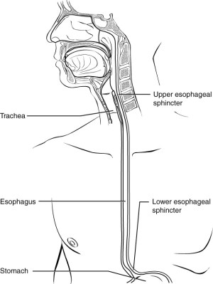 The Mouth, Pharynx, and Esophagus | Anatomy and Physiology II