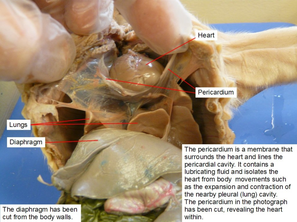 Reading Fetal Pig Dissection