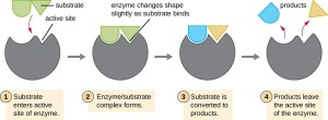 Energy, Matter, and Enzymes | Microbiology