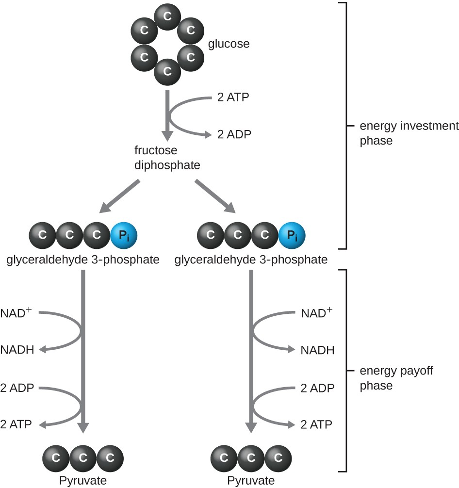 The Pathway Of Oxygen Molecule Diagram Free Vehicle Wiring Diagrams Atom Rh Pandarestaurant Us And Hydrogen Bonding