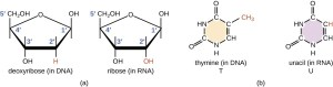 Structure and Function of RNA | Microbiology