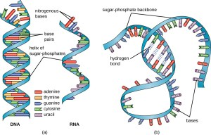 Structure and Function of RNA   Microbiology