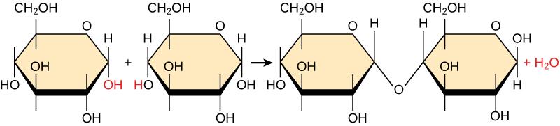 Se muestra la reacción de dos monómeros de glucosa para formar maltosa. Cuando se forma maltosa, se liberan moléculas de agua.