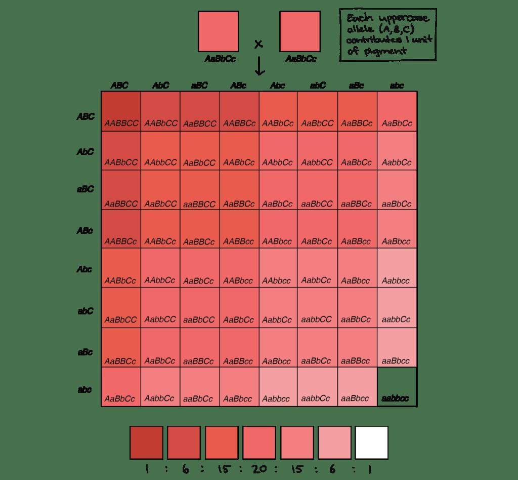 Human Mendelian Traits Worksheet Answers
