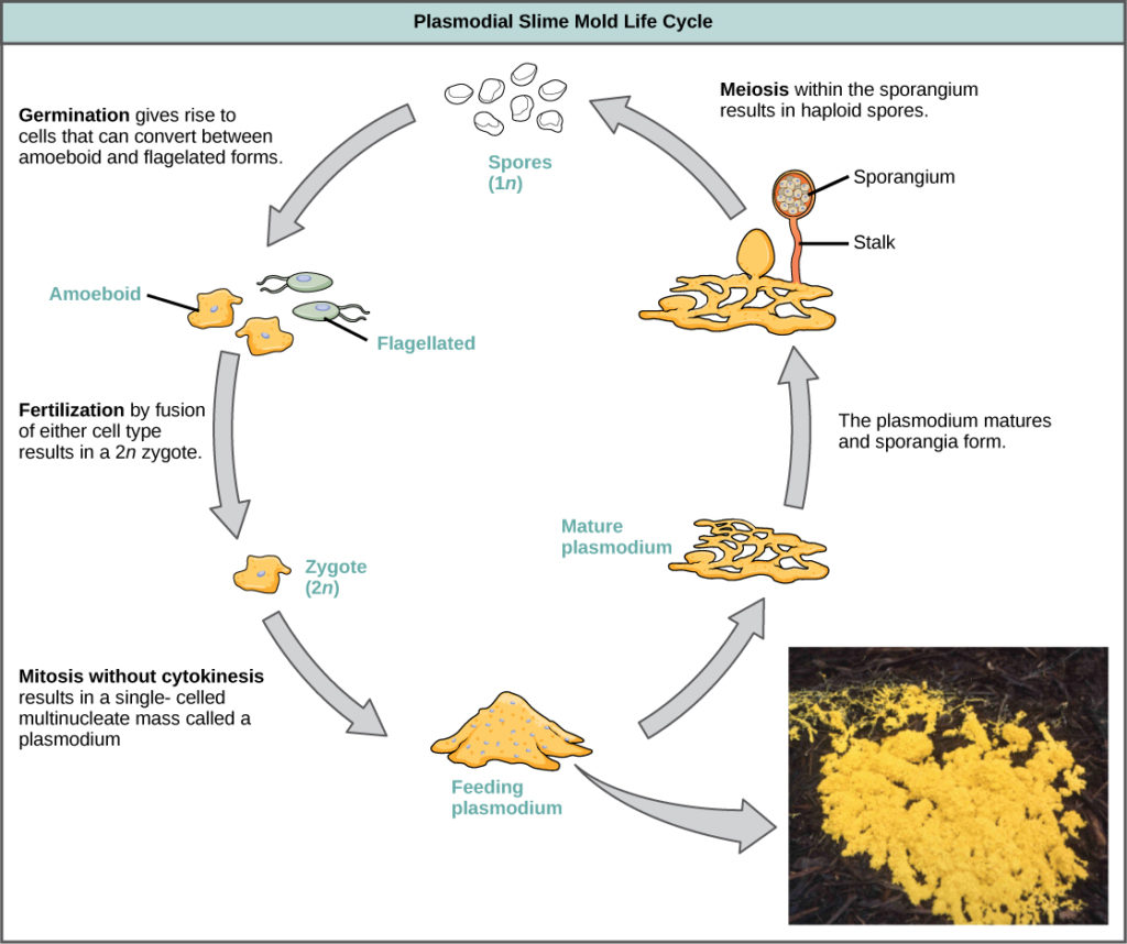 Groups Of Protists