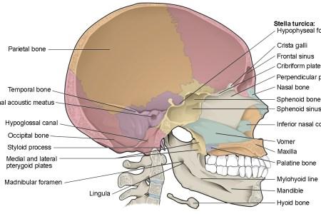 interior landmarks of the larynx » Electronic Wallpaper | Electronic ...
